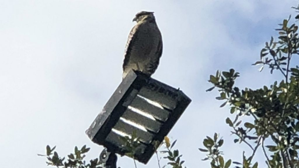 More than dozen people sought treatment at hospitals recently after being attacked by a pair of red-tailed hawks in the parking lot of a Viera Holiday Inn. (On Point Wildlife Removal)