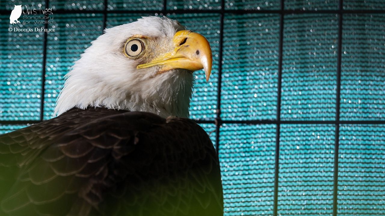 Man Who Rescued Injured Bald Eagle Releases Him Into the Wild