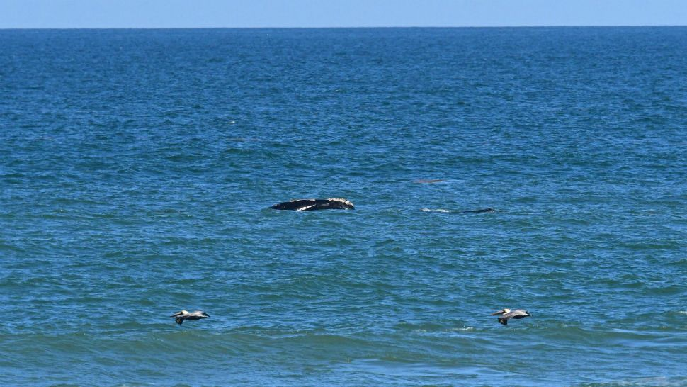 North Atlantic right whale No. 4180 was spotted with a calf just off the coast of Sebastian Inlet State Park in Brevard County, Florida, on Tuesday, February 5, 2019. The mother is thought to be young, perhaps 8 years old, and it's her 1st known calf. (Park Ranger Ed Perry/Sebastian Inlet State Park)
