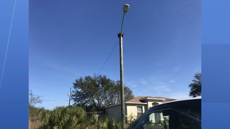 A raccoon with a plastic peanut butter jar on its head was in quite a predicament Friday, stuck 25 feet up at the top of a power pole in Palm Bay. (Greg Pallone/Spectrum News)