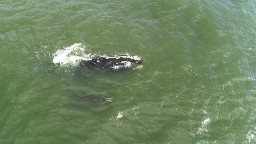 The 6th north Atlantic right whale mother-calf pair swims off the coast of Volusia County, Florida's North Peninsula State Park in mid-February. The mom, No. 3370 gave birth to her 1st calf 10 years ago, and this is her 2nd offspring. (Ralph Bundy, Marineland Right Whale Project via Florida Fish and Wildlife Conservation Commission)