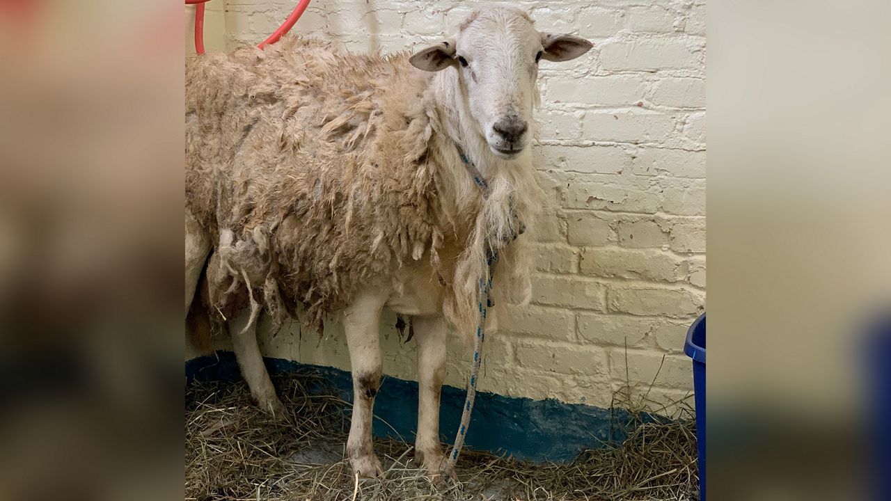 Sheep Found Tied to Tree in a Brooklyn Park Rescued