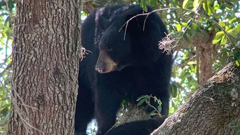 Wildlife Officials Say Someone Tampered With Bear Trap