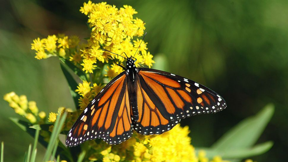 Monarch Butterfly Population Drastically Increases in Texas