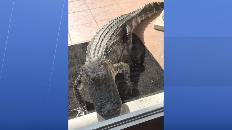 Video Huge Gator Knocks On Palm Coast Woman S Front Door