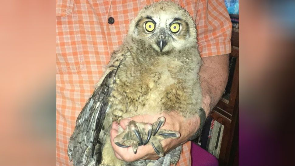 Leander Police Rescue Great Horned Owl