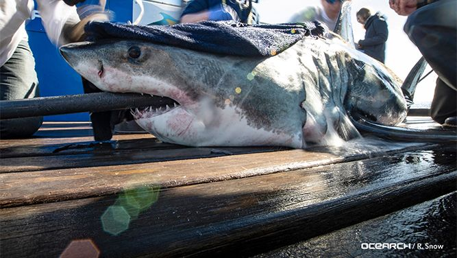 4 Great White Sharks Tracked Off Nc Coast