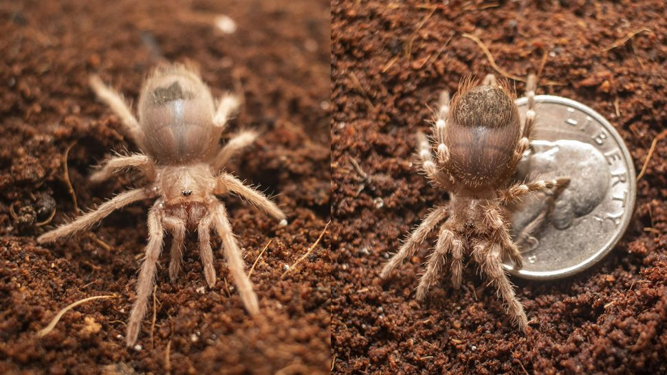 Confiscated Baby Tarantulas Find New Home at Brevard Zoo