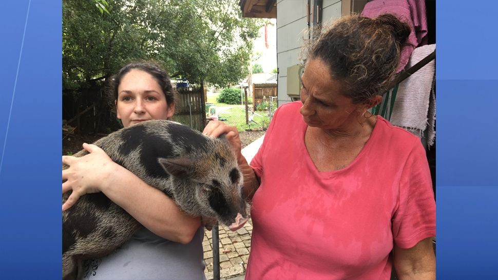 Mini pig owners in Zephyrhills are hoping the city council redefines the ordinance on domestic pets to allow pigs. (Sarah Blazonis, staff)