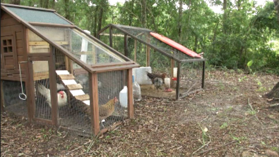 Seminole County To Allow Backyard Chickens Permanently