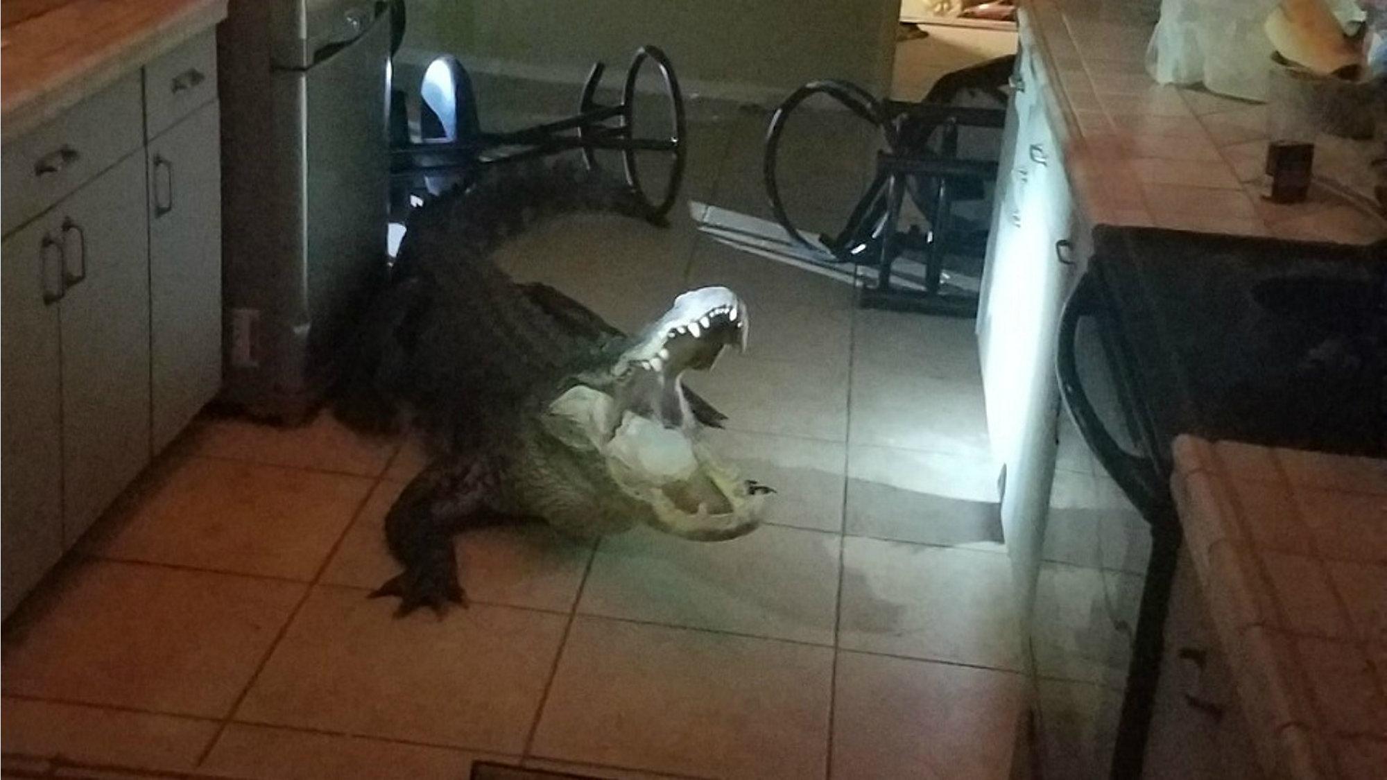 Clearwater Home Break-In Suspect: 11-Foot Alligator