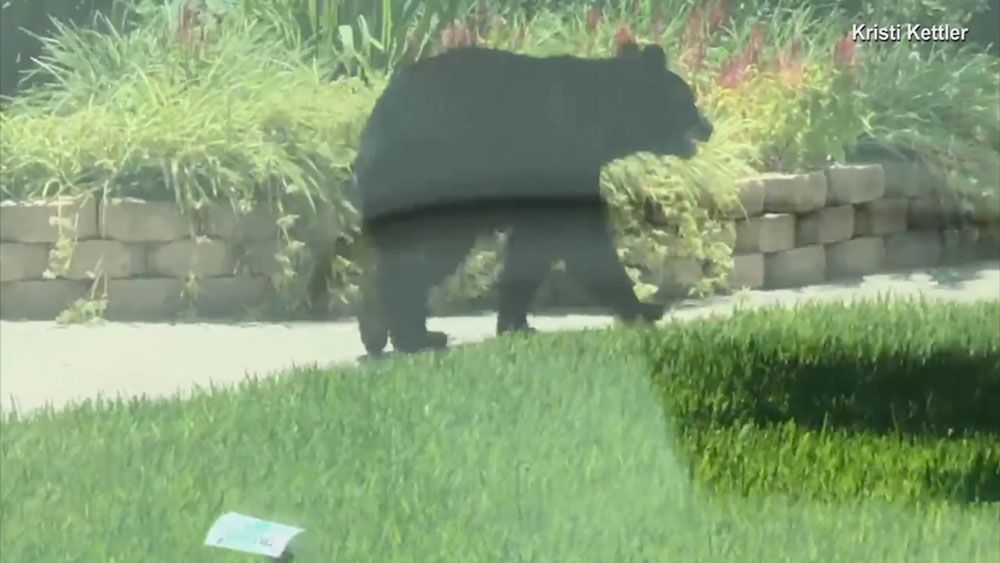 """""""There's a Bear!"""" Black Bear Takes a Stroll in Altamonte Springs"""