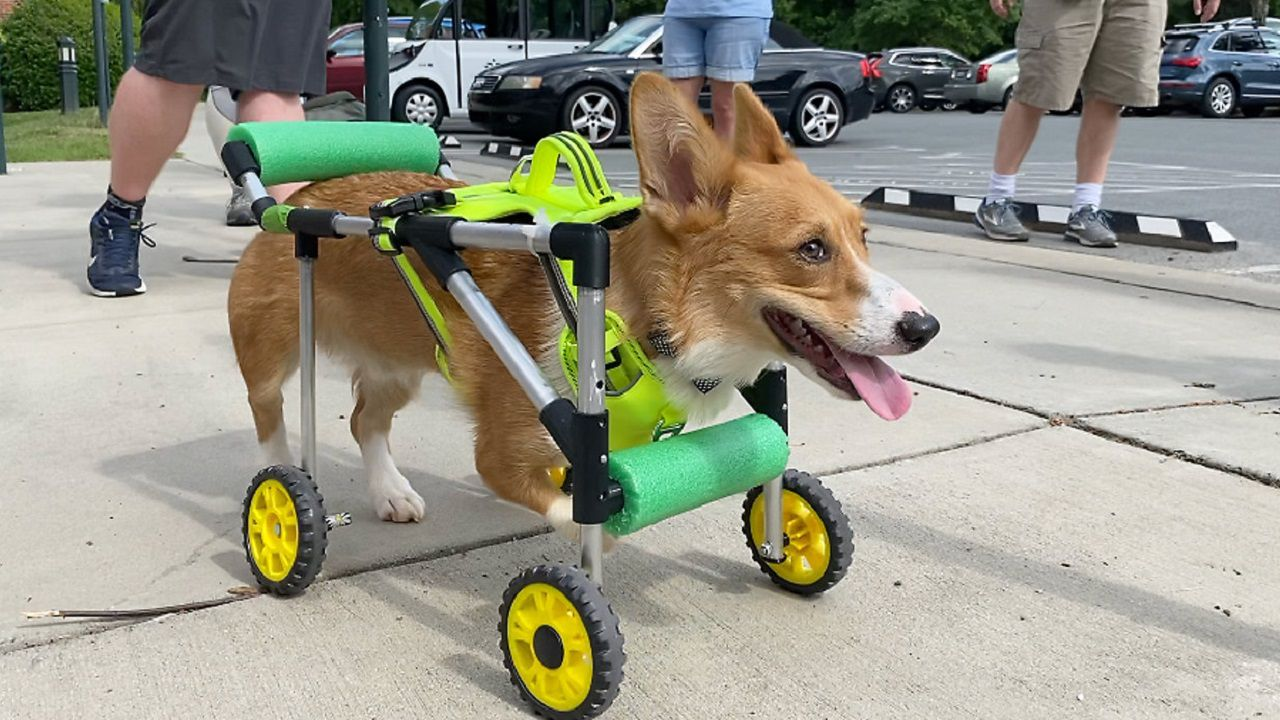 Students design wheelchair for disabled corgi