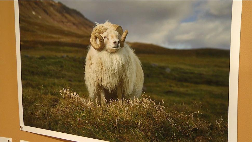 "Ram Picture R.J. Kern ""Mr. Hofsos, Skagafjardarsysla, Iceland, Ed 1 of 10, 2014"""