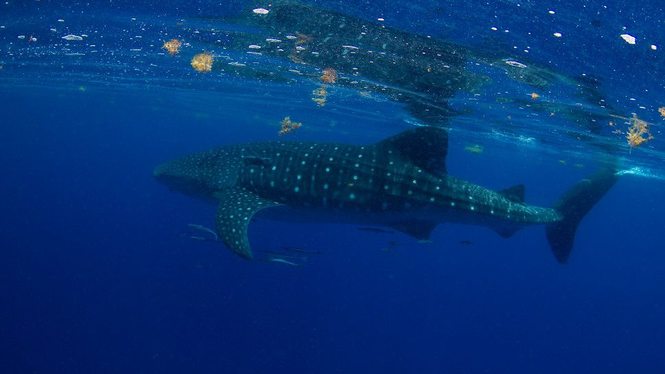 Scientists from MOTE were able to tag two whale sharks this week thanks to sightings reported by the public. (Conor Goulding with the Mote Marine Laboratory)