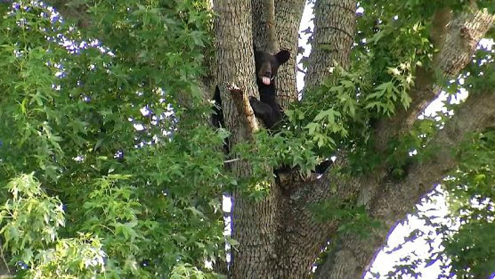 Officials to Become Stricter With Bear Enforcement