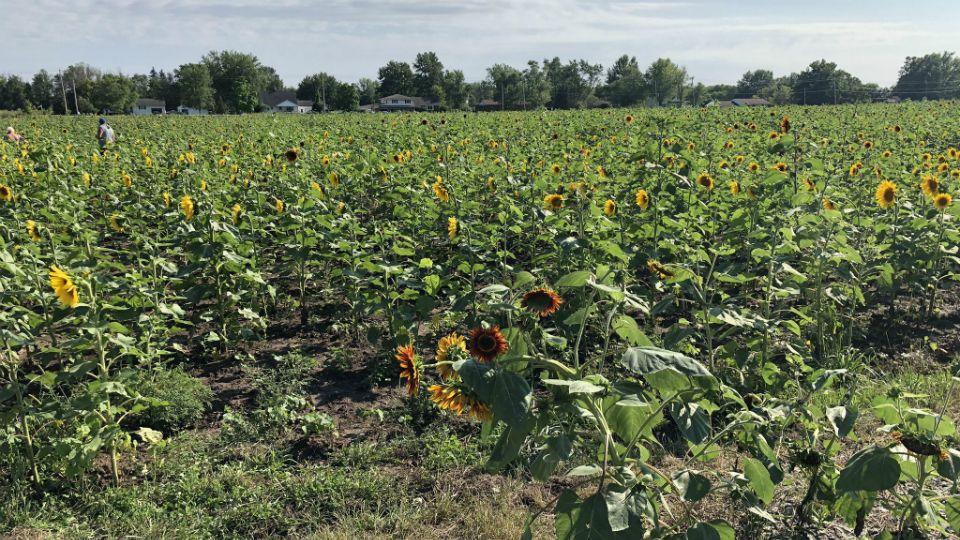 Trespassers Steal Flowers, Damage Sunflowers of Sanborn Field