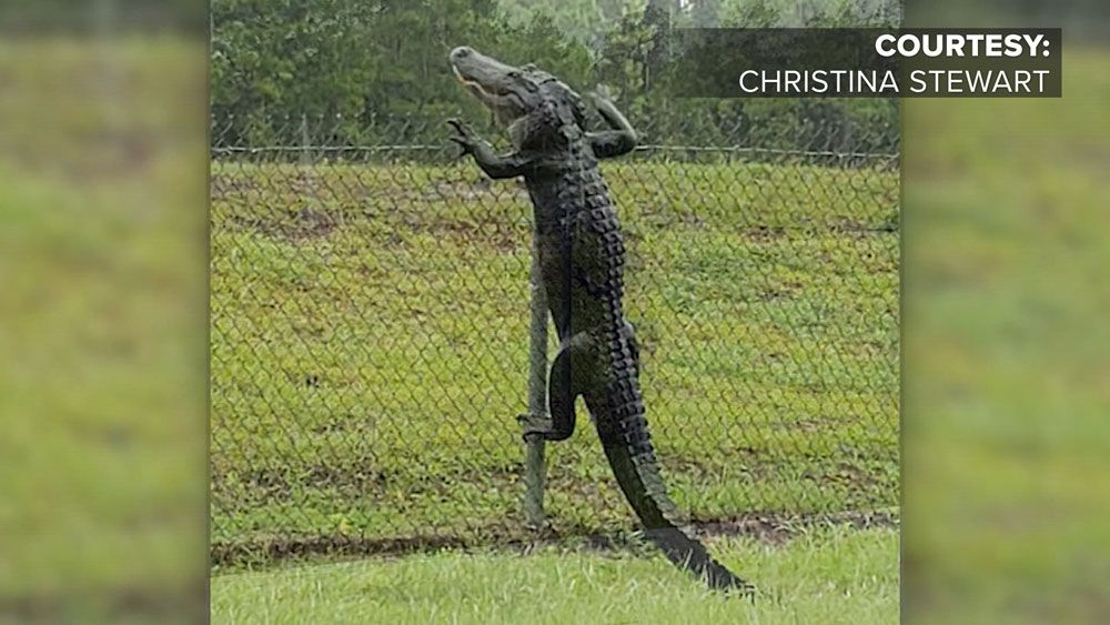 How Does a Gator Get Past a Fence? Viral Video Shows You How