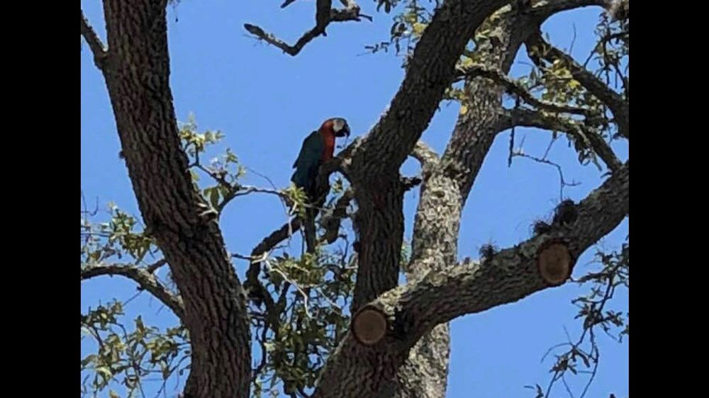 Kona, a rescued Catalina Macaw, got spooked in Ormond Beach Monday and took flight, forcing his family to chase him. The community helped. (Photo by DanieLynn D'Ambrosio)