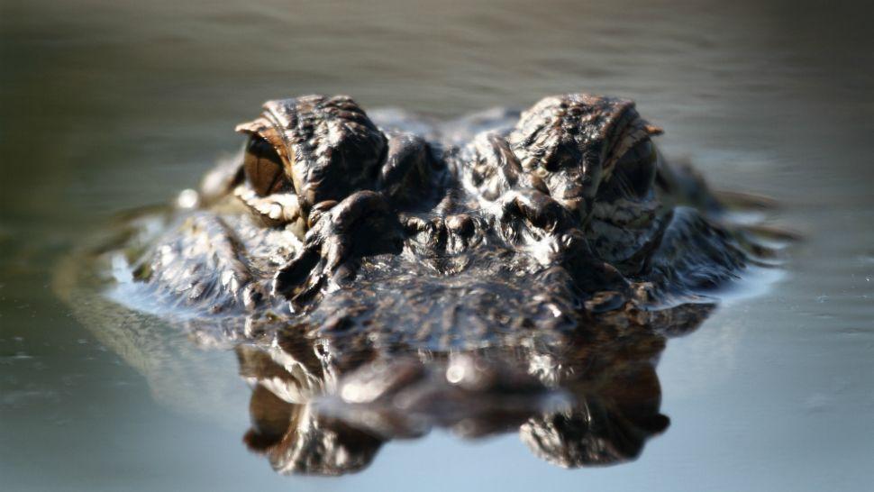 "Man in Public Alligator Hunt Incurs ""Major Bite"" on Hand"