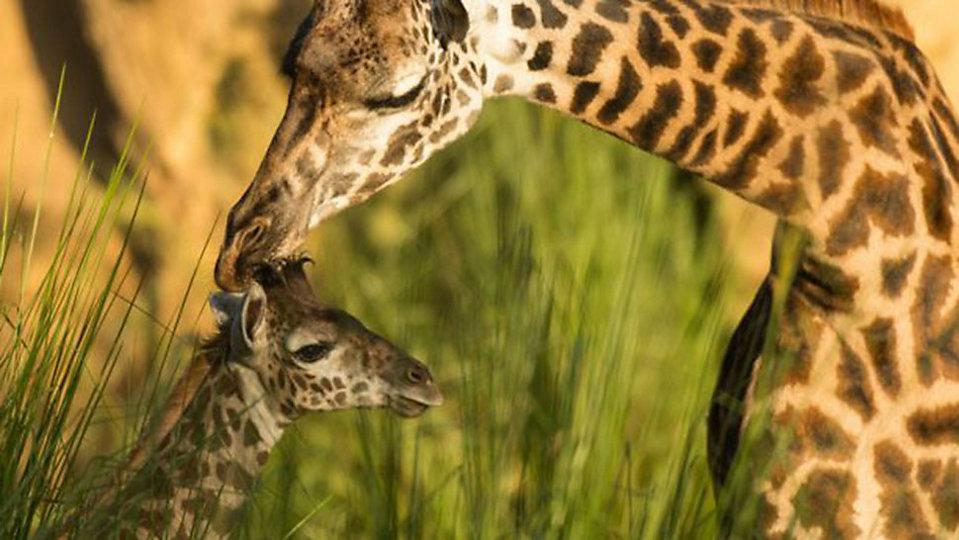 Aella, a baby giraffe born at Disney's Animal Kingdom, has made her debut at the park's Kilimanjaro Safaris attraction. (Disney)