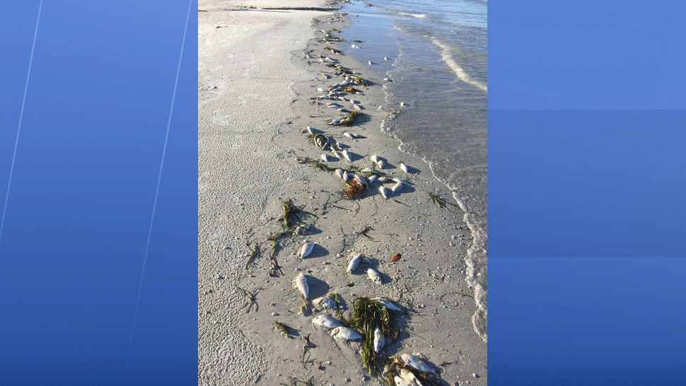 Submitted via our Spectrum Bay News 9 app: Dead fish have washed ashore near the Don Cesar on St. Pete Beach. (Mary Lou, viewer)