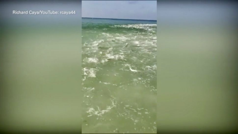 Exclusive: Redington Beach Fish Frenzy Caught On Video