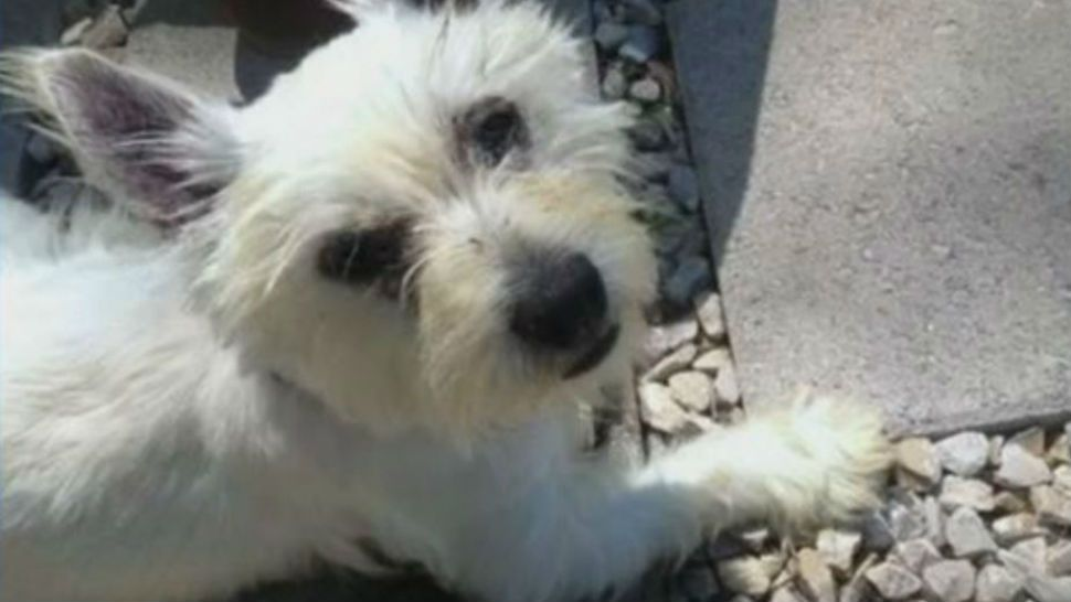 80-year-old Army vet to be reunited with Westie