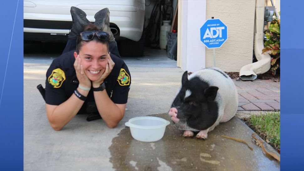 The pig seemed to bond with Officer Brittani Berg as she tried to get to the bottom of the pig caper. (Clearwater Police Department)