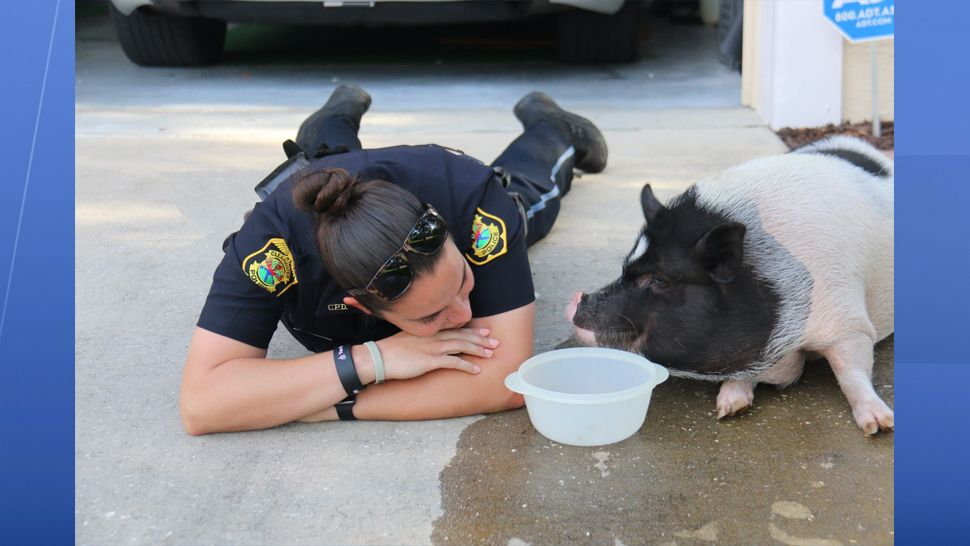 Clearwater police officers got an unusual call Friday morning when a Clearwater homeowner found a pig inside her garage. (Clearwater Police Department)