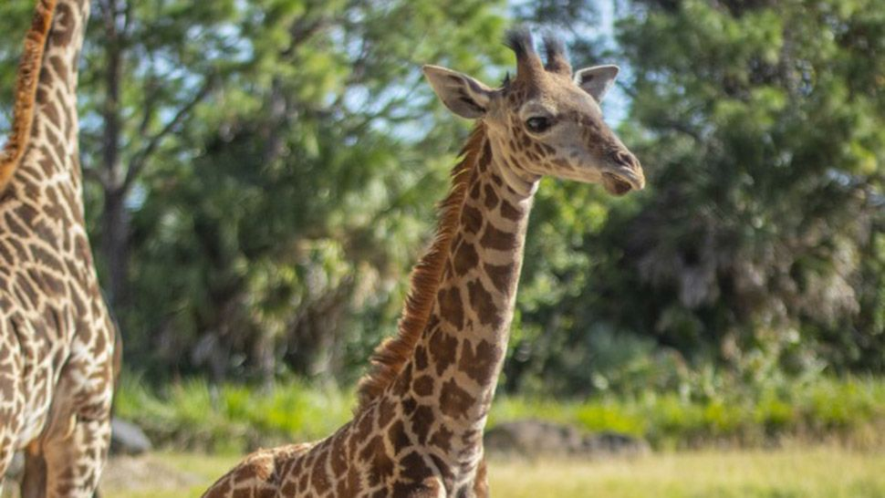 Young Giraffe Dies from Parasitic Infection at Brevard Zoo