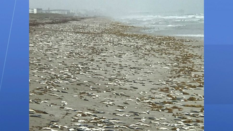 Thousands Of Fish Dead On Cocoa Beach