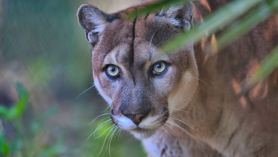 Wildlife Officials Report 1st Florida Panther Death of 2020