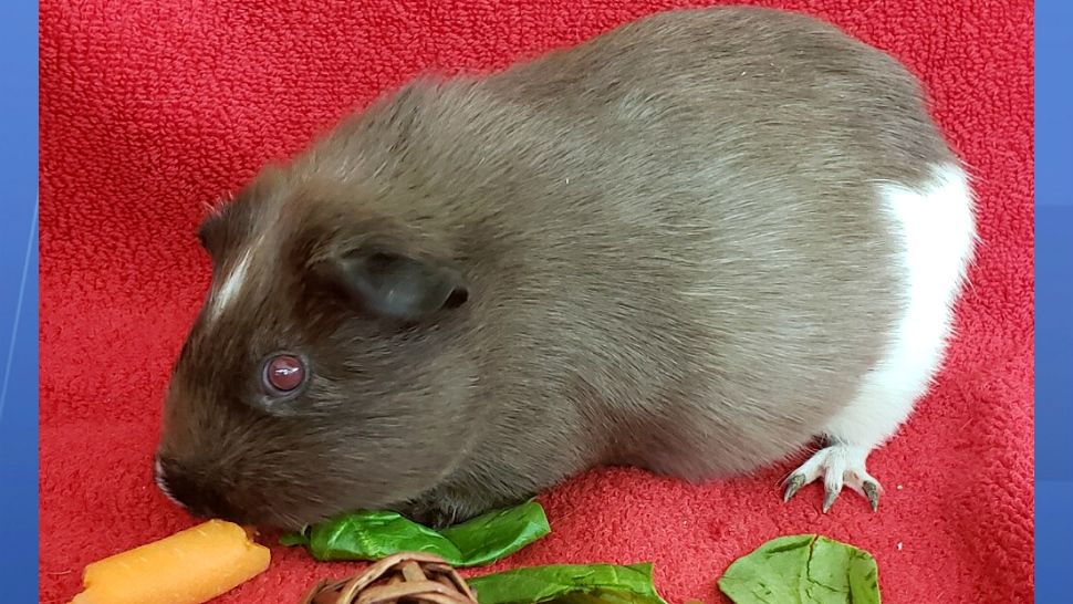 Guinea Pigs were found abandoned near a dead-end road in Melbourne. They are currently being cared for at Last Chance Sanctuary.