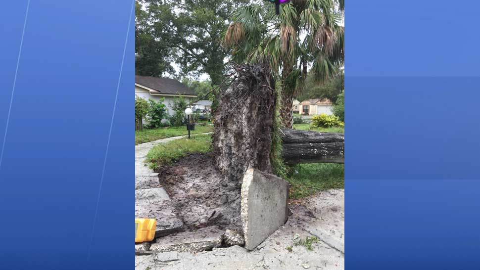 Tree uprooted by high winds in Citrus Park (Courtesy of Marlin Otalvaro)