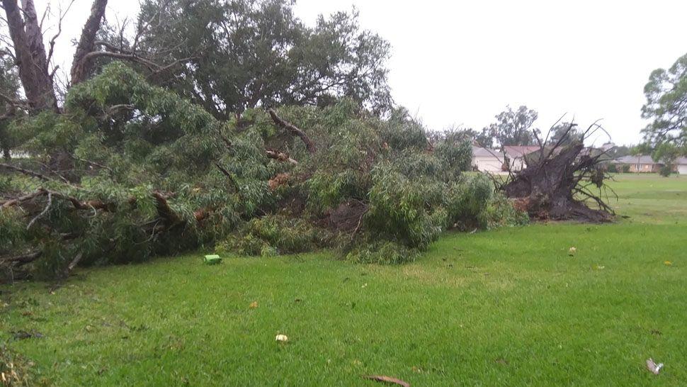 Fallen tree due to tornado damage behind The Links Condominiums in Seminole (Courtesy of Jim Dence)