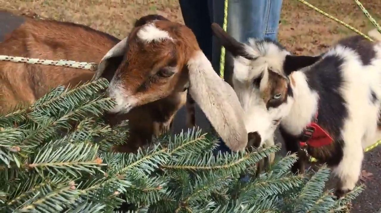 Christmas Goat.Give Your Christmas Trees To Goats For A Snack