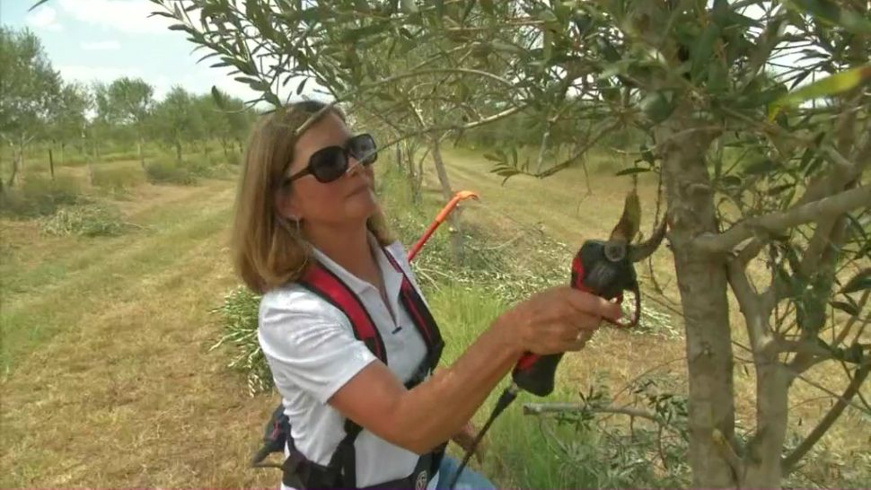 Texas olive oil producers want to grow industry
