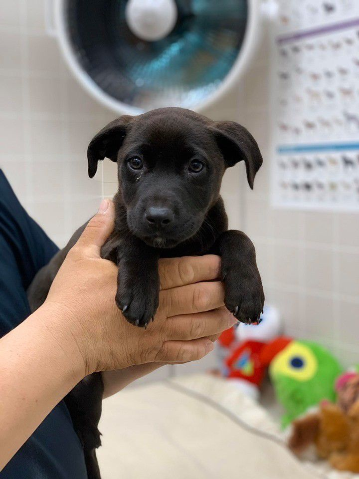 Cali, a 3 month female lab puppy, is sweet, playful, loves her toys. She is great with all dogs and loves to lay on your lap and cuddle.