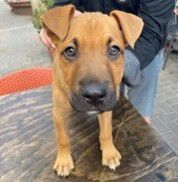Bear is a 3 month male Black Mouth Cur puppy. He is a playful and energetic social butterfly, who loves playing with toys and balls as much as he loves all dogs and people.