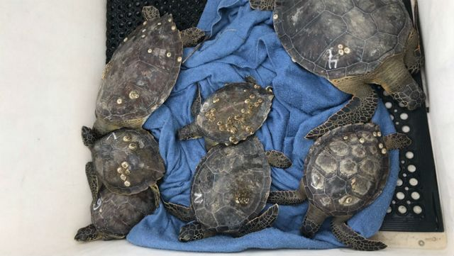 SeaWorld Helps Rescue Cold Stunned Sea Turtles