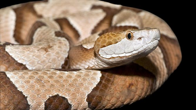 Look Out for This Venomous Snake in North Carolina