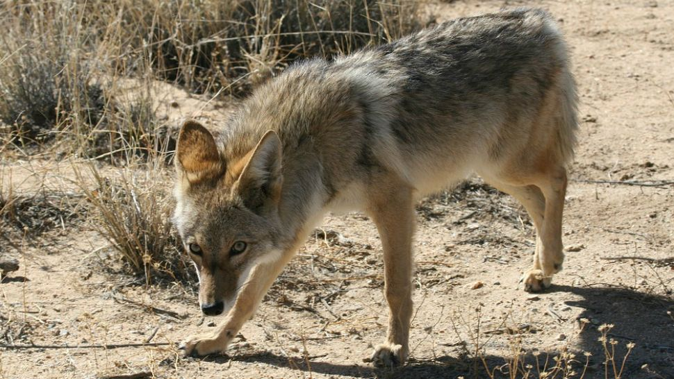 Texas Wildlife Experts: Coyotes out for Denning Season
