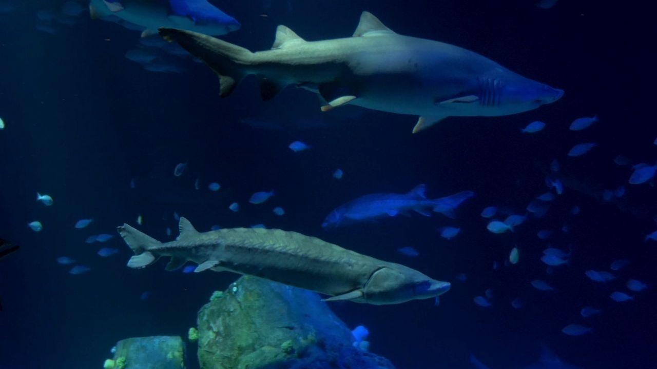 Endangered Sturgeon Find New Home At New York Aquarium