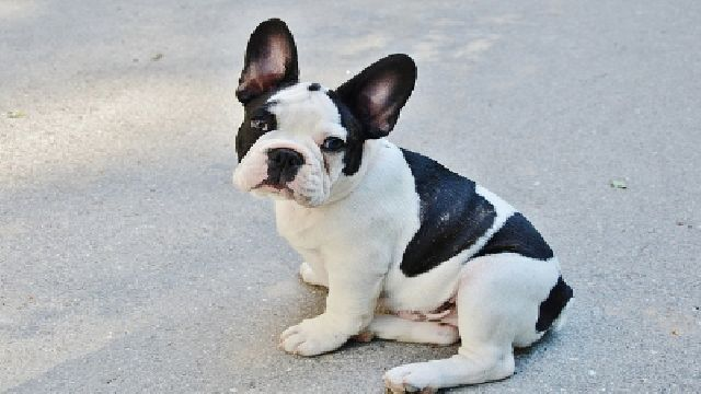 Akc French Bulldog Most Pupular Breed In Nyc