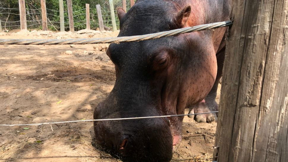 Texas's Tank the Hippo Hungry for Love