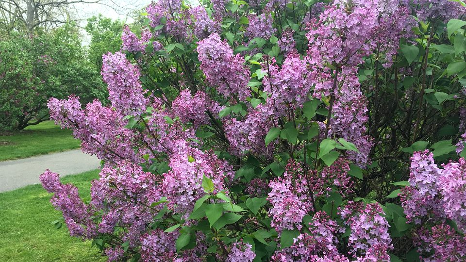 Rochester Lilac Festival 2020.Top 10 Things To Do At Lilac Festival