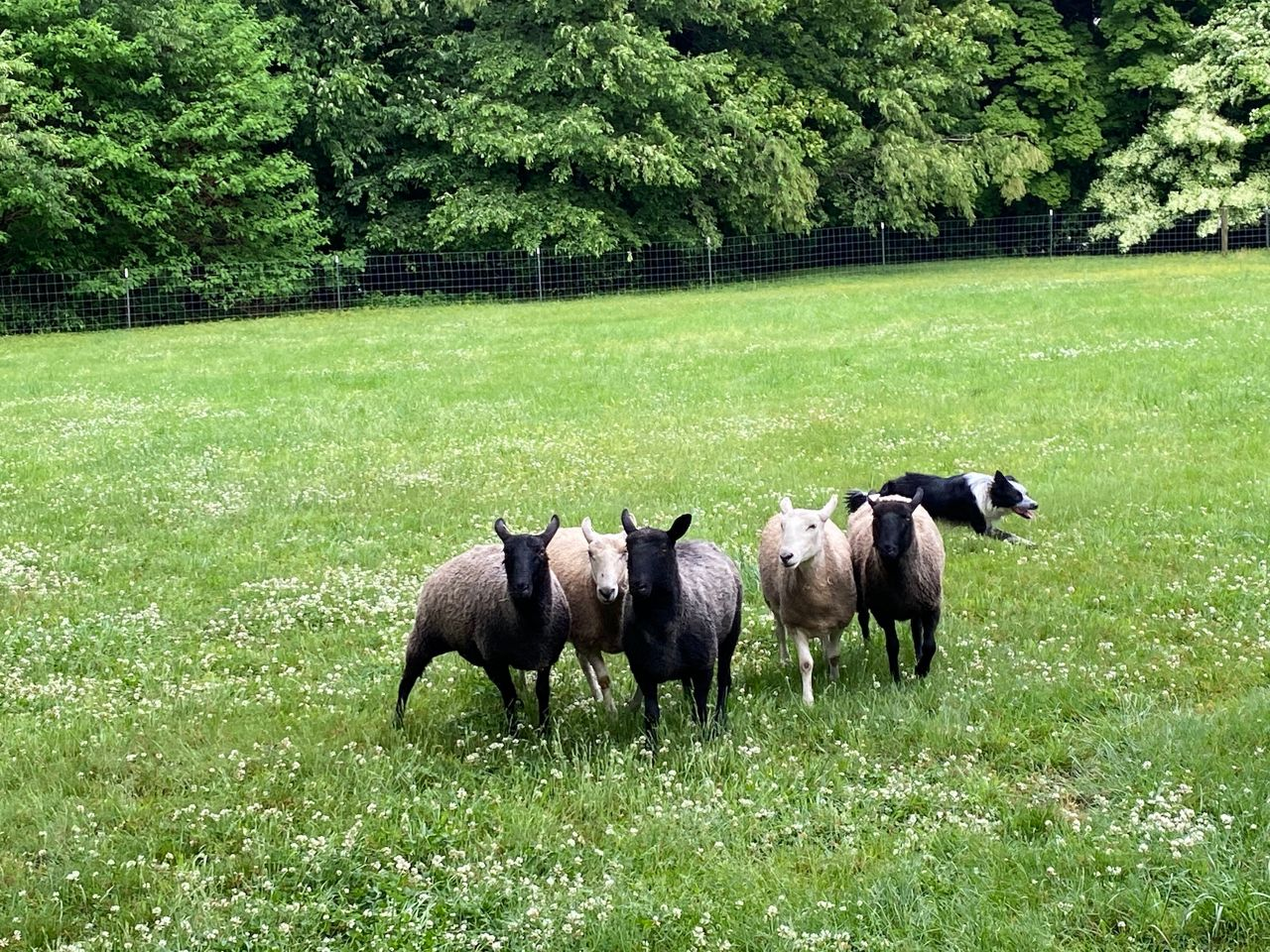 Owen herding sheep