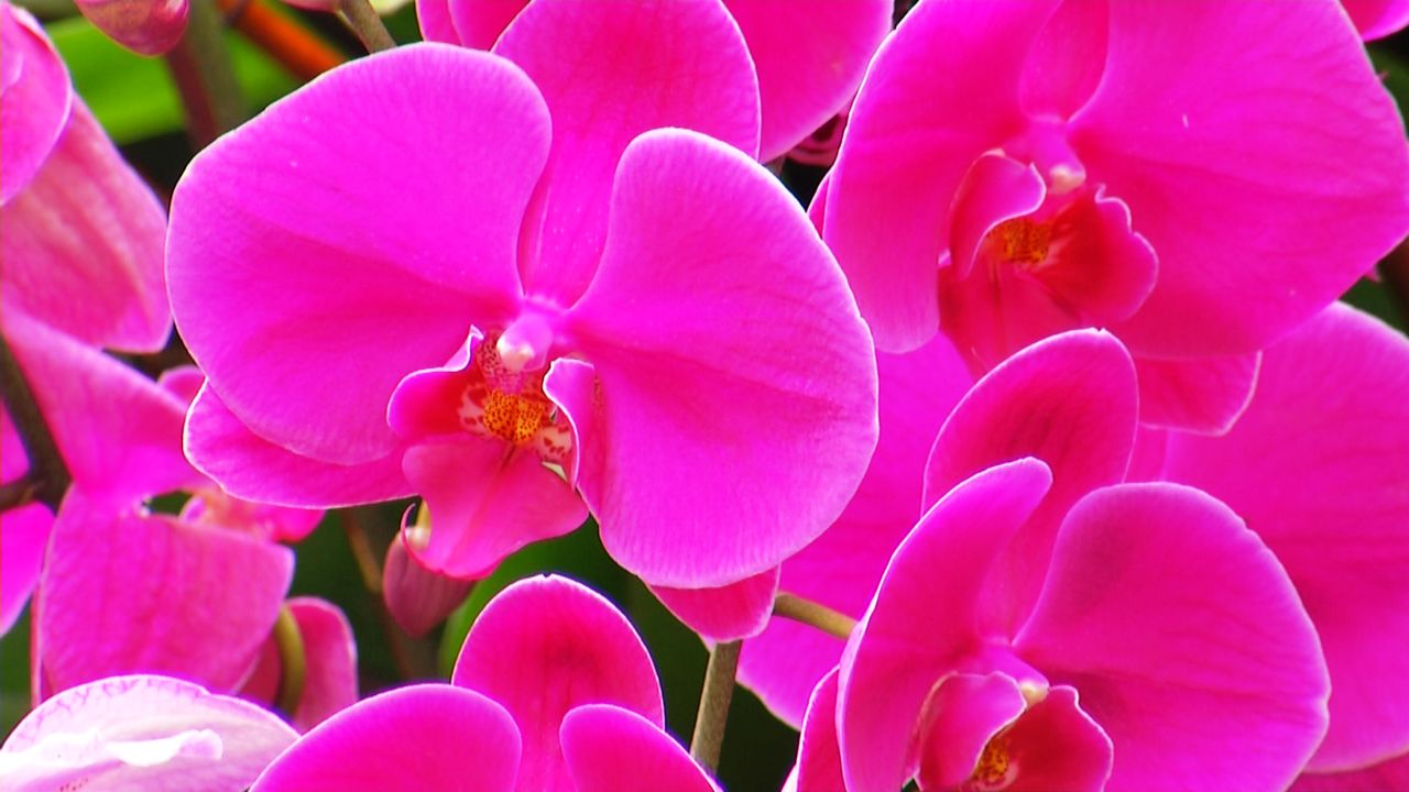 Annual Botanical Garden Orchid Show Blooms And Flows