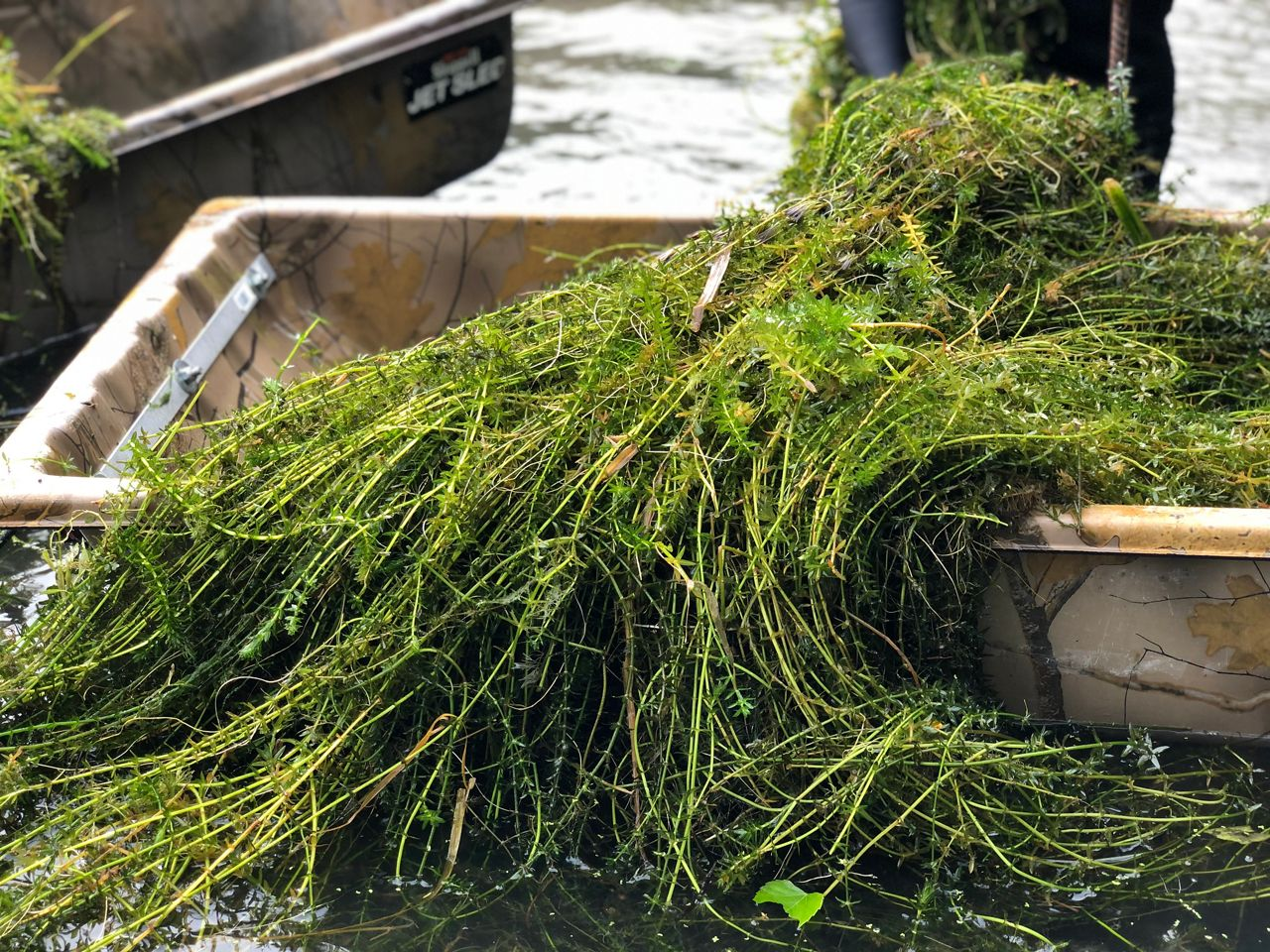 Bucket full of invasive plants that were removed from the San Marcos River. (Charlotte Scott/Spectrum News 1)